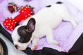 Sleeping french bulldog puppy in bed Stock Photo