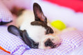 Sleeping french bulldog puppy in bed Stock Photos
