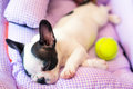 Sleeping french bulldog puppy in bed Royalty Free Stock Photo