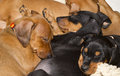 Sleeping german pinscher puppies five cute purebred cuddled together Royalty Free Stock Images