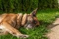 Sleeping German Shepherd Royalty Free Stock Photo