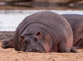 The sleeping giant: Nile Hippo Royalty Free Stock Images