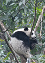 Sleeping giant panda baby in a tree Royalty Free Stock Photography