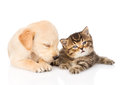 Sleeping golden retriever puppy dog and british cat together. is