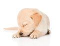 Sleeping golden retriever puppy dog.  on white background Royalty Free Stock Photo
