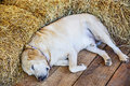 Sleeping Golden Retriever Puppy in farmhouse Royalty Free Stock Photo