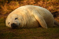 Sleeping grey seal pup with smile on face beach at donna nook nature reserve in lincolnshire a his Stock Photos
