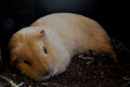 A sleeping Guinea pig Royalty Free Stock Photo