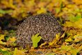 Sleeping Hedgehog Royalty Free Stock Photo
