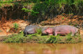 Sleeping hippos Stock Images