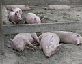 Sleeping Hogs Royalty Free Stock Photos