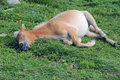 Sleeping horse Royalty Free Stock Photo