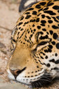 Sleeping Jaguar Royalty Free Stock Photo