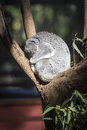 Sleeping koala australia australian wild life s are located throughout you will find this national icon amongst the gum trees Stock Photo