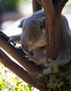 Sleeping Koala Bear Stock Image