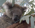 Sleeping koala on a branch Stock Image