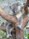 Sleeping koala close up on tree Stock Images