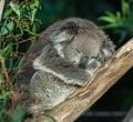 Sleeping koala cuddly in tree Stock Image