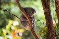 Sleeping koala on eucalyptus tree, sunlight. Royalty Free Stock Photo