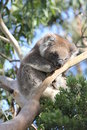 Sleeping koala in gumtree during the day Stock Photography