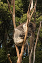 Sleeping koala picture of bear Stock Photography