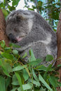 A sleeping koala sitting in a tree Stock Images