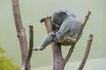 Sleeping koala a on a tree crotch Royalty Free Stock Photography