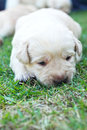 Sleeping labrador puppies on green grass three weeks old Stock Image