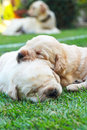 Sleeping labrador puppies on green grass three weeks old Stock Images