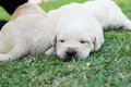 Sleeping labrador puppies on green grass three weeks old Royalty Free Stock Photo