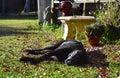 Sleeping Labrador x