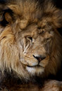 Sleeping lion Royalty Free Stock Photo