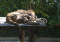 Sleeping lion african on a wooden platform with green vegetation in backgoround Stock Image