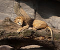 Sleeping lion big closeup on outdoor stone rocks background Stock Photo