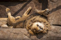 Sleeping lion a after busy day Royalty Free Stock Photography