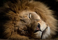 Sleeping lion close up portrait of a Royalty Free Stock Photography
