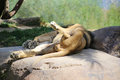 Sleeping lion lying on the back in safari zoo Stock Images