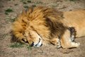 Sleeping lion lying on the ground Royalty Free Stock Photography