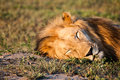 Sleeping lion a male in south africa s madikwe game reserve Stock Photo