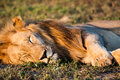 Sleeping lion a male in south africa s madikwe game reserve Royalty Free Stock Images
