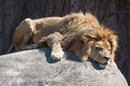 Sleeping lion on rock ofter a big meal Stock Photos