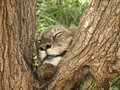 Sleeping lion during a safari in Kenya Royalty Free Stock Images