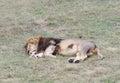 Sleeping lion safari park taigan lions park crimea rests Stock Photo