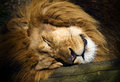 Sleeping lion in the shadow with close up on head illuminated by the sun Royalty Free Stock Photos