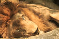 Sleeping lion in the zoo from thailand Royalty Free Stock Photography