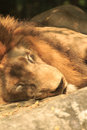 Sleeping lion in the zoo from thailand Stock Photo