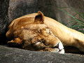 Sleeping Lioness Stock Photo