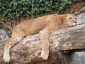 Sleeping lioness Royalty Free Stock Photo