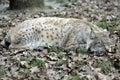 Sleeping Lynx Stock Images