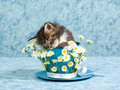 Sleeping Maine Coon kitten in cup Stock Images
